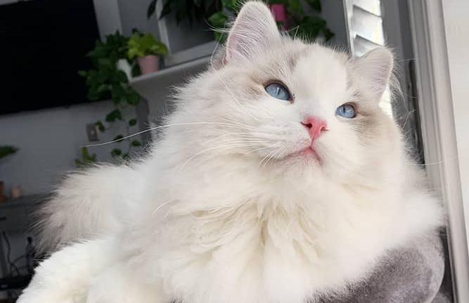 blue-bicolor-ragdoll-cat