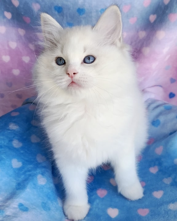 seal-lynx-bicolor-ragdoll-kitten
