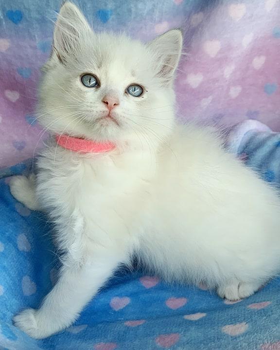 blue-bicolor-ragdoll-kitten